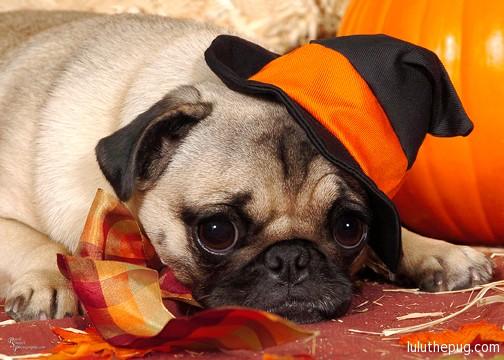 no treats - Pugs Halloween
